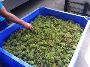 Chardonel Grapes