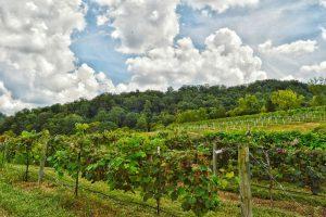 Vineyard at The Winery at Seven Springs Farm