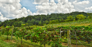 Estate Vineyard at The Winery at Seven Springs Farm